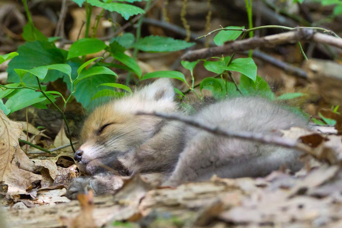 Asleep near the den entrance