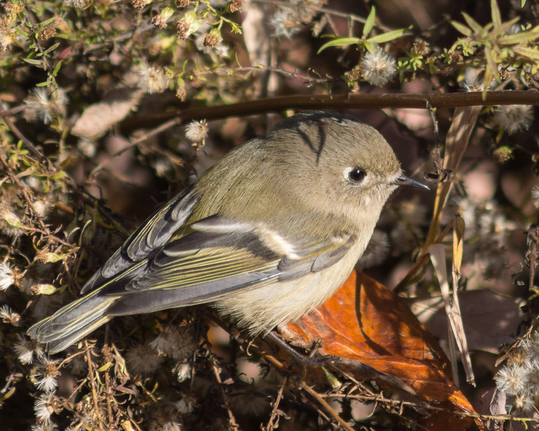 Ruby-crowned Kinglet - male - crown obscured