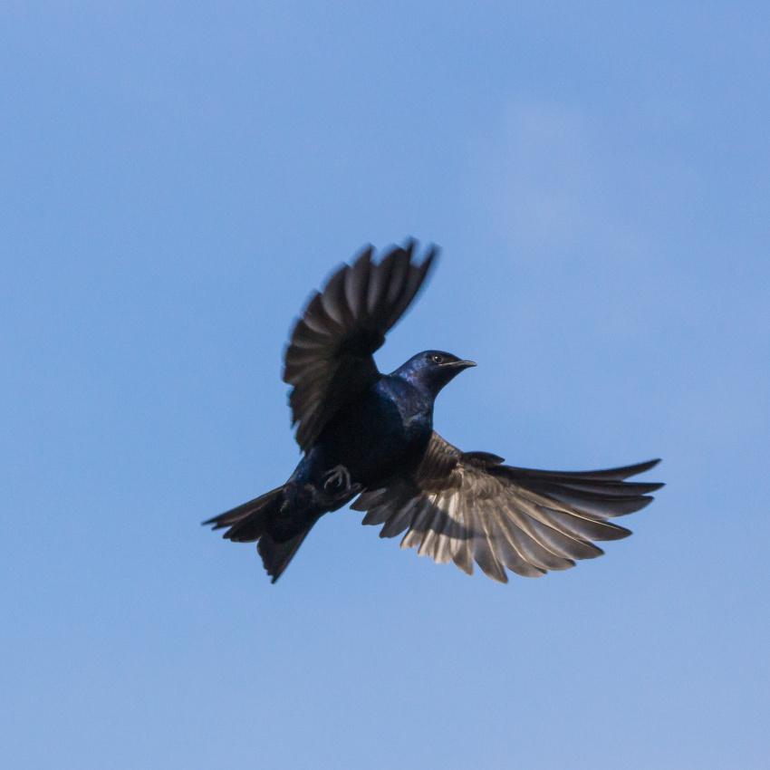Male Purple Martin hovering