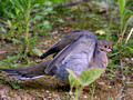 Mourning Dove - wings up