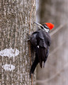 Female Pileated Woodpecker clinging to a tree