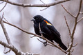 Red-winged Blackbird in an odd perch