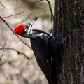 Female Pileated Woodpecker clinging to an Oak