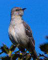 Northern Mockingbird looking right