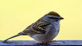 Chipping Sparrow on our deck rail