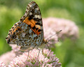 Painted Lady - facing right