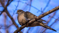 Mourning Dove on high Pine branch