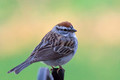Chipping Sparrow out back