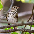 Hermit Thrush - partially obscured