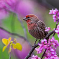 Male House Finch in Redbud