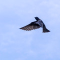 Male Purple Martin - above Links Pond