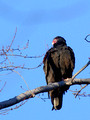 Turkey Vulture on a high perch
