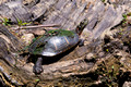 Painted Turtle - Links Pond tributary