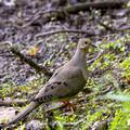 Mourning Dove - Links Pond shore