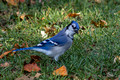 Blue Jay with cocked head