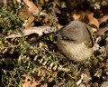 Ruby-crowned Kinglet - male - crown barely visible