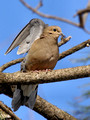 Mourning Dove - wing up