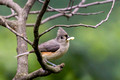 Tufted Titmouse with a seed