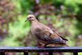Mourning Dove on our deck rail