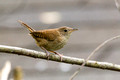 House Wren on a thin branch