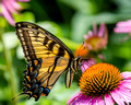 Eastern Tiger Swallowtail on a Cone Flower