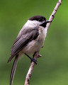 Carolina Chickadee - clipped tail