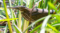 Green Heron in the reeds - Links Pond