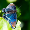 Red-spotted Purple - wings down