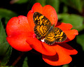Pearl Crescent on a red bloom