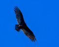 Turkey Vulture high over 9th tee