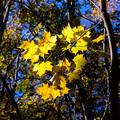 Yellow leaves - Little Stony Man trail