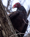 Turkey Vulture roosting