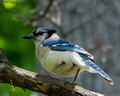 Blue Jay on dead branch