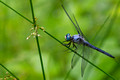 Great Blue Skimmer on thin stem