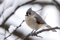 Tufted Titmouse in our one inch snow