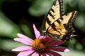 Eastern Tiger Swallowtail on Coneflower