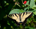 Eastern Tiger Swallowtail with unripe Blackberry
