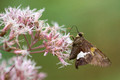 Silver Spotted Skipper on Swamp Milkweed