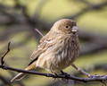 Female House Finch in Redbud