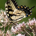 Eastern Tiger Swallowtail on Swamp Milkweed