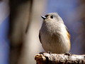 Tufted Titmouse on broken branch