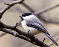 Carolina Chickadee close up