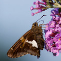 Silver Spotted Skipper on Butterfly Bush