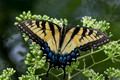 Eastern Tiger Swallowtail - damaged wing