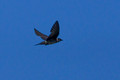 Purple Martin - heavy crop