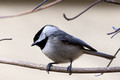 Carolina Chickadee in a Dogwood