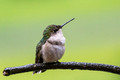 Our female Ruby-throated Hummingbird - a little damp