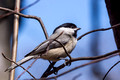 Carolina Chickadee in the branches