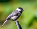 Carolina Chickadee from 10 feet