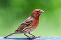 Male House Finch with vivid coloring